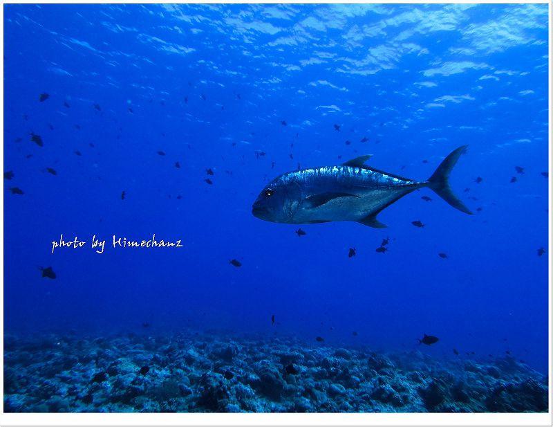 ロウニンアジの捕食シーンは迫力アリです! photo by CANON PowerShot S100