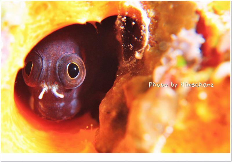 フタイロカエルウオは見た! photo by Nikon D300