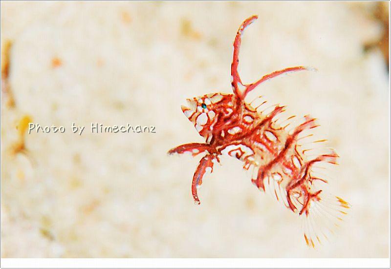 オビテンスモドキ幼魚 photo by Nikon D300