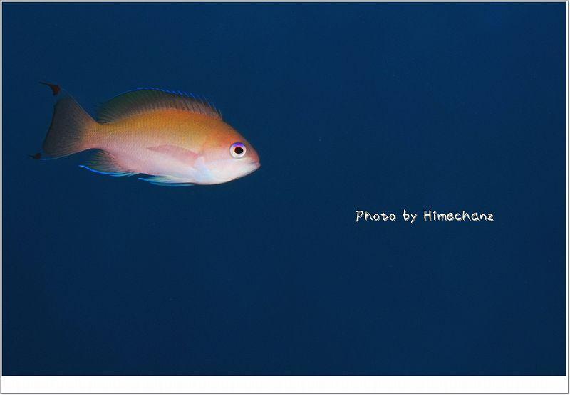 美しいケラマハナダイ photo by Nikon D300