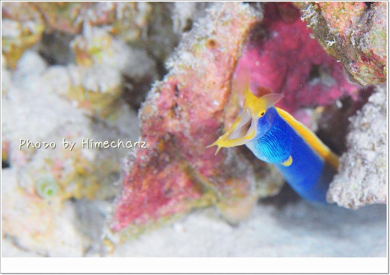 アオヒゲことハナヒゲウツボ成魚 photo by Nikon D300