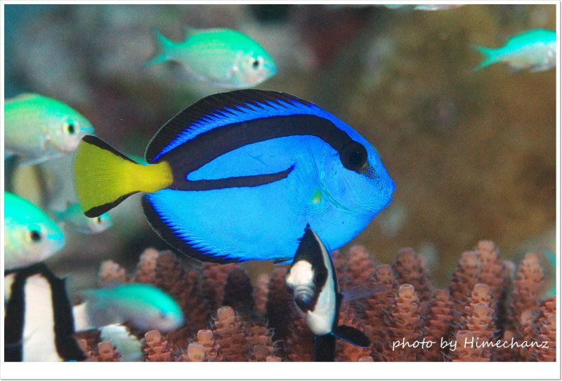 ナンヨウハギの幼魚、今年は竹富島でその辺で見れますw photo by Nikon D300
