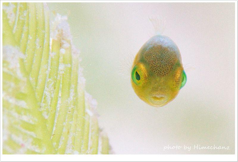 米粒サイズのアオサハギ、ダンゴウオみたいな可愛さでした! photo by Nikon D300