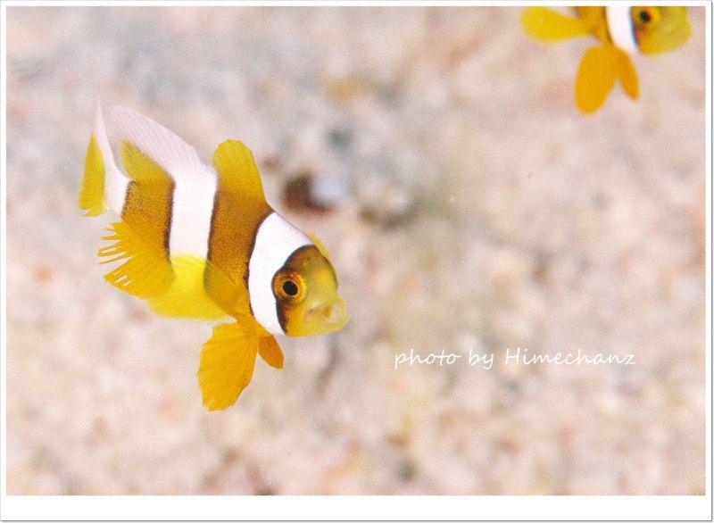 極小クマノミのあくびw photo by Nikon D300