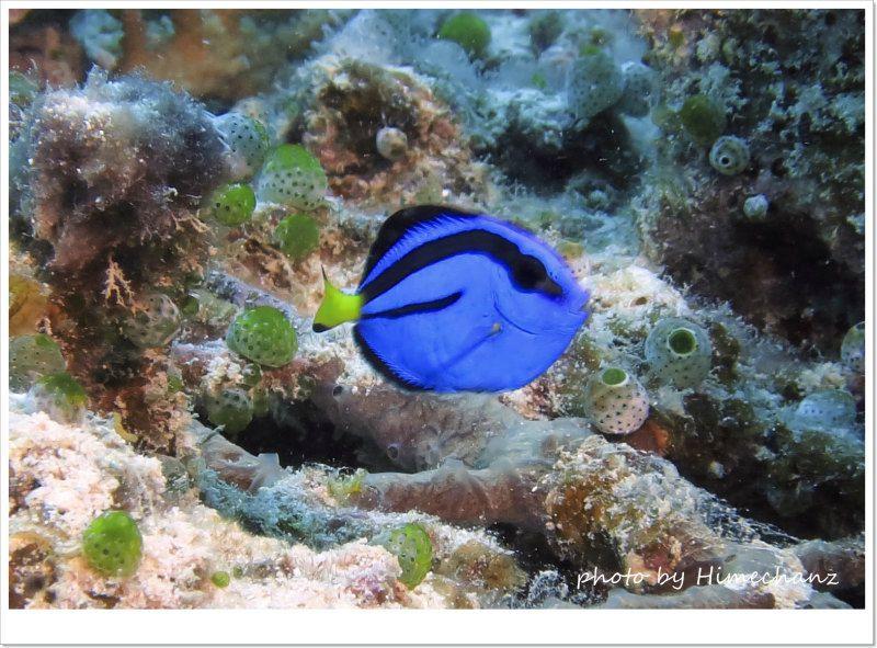 ナンヨウハギ幼魚(過去写真) photo by CANON PowerShot S100