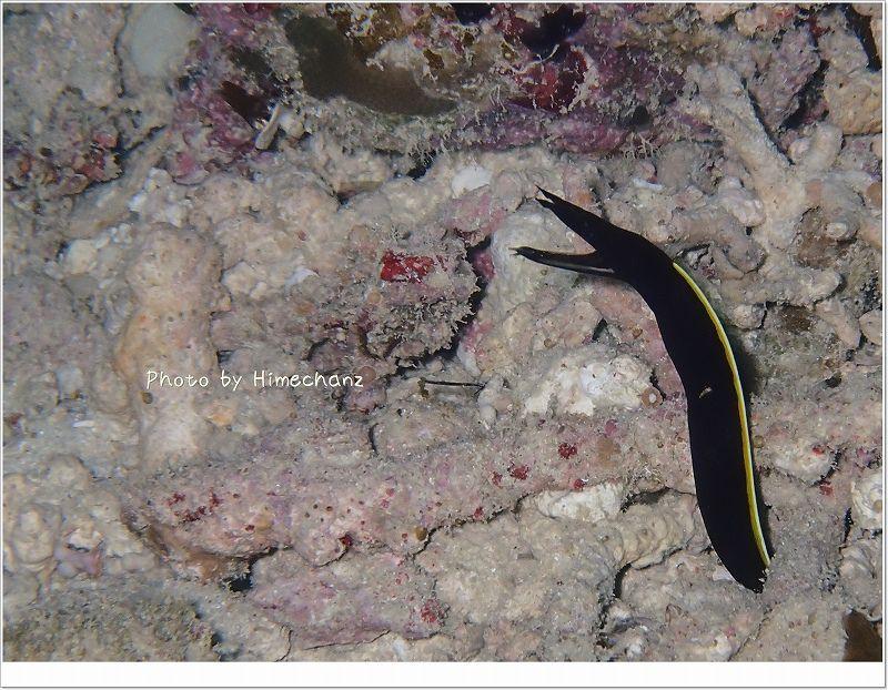 今日も元気にびよ~んってなってました(ハナヒゲウツボ幼魚) photo by OLYMPUS STYLUS TG-2 Tough