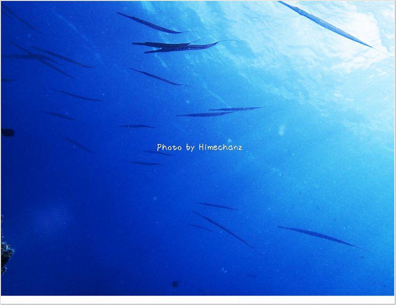 棒のような魚に囲まれました!アオヤガラ photo by OLYMPUS STYLUS TG-2 Tough