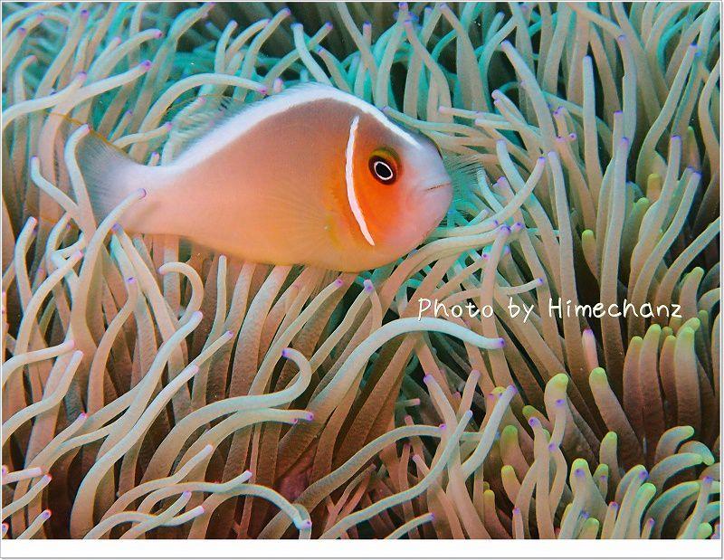 かわいいハナビラクマノミ photo by OLYMPUS STYLUS TG-2 Tough