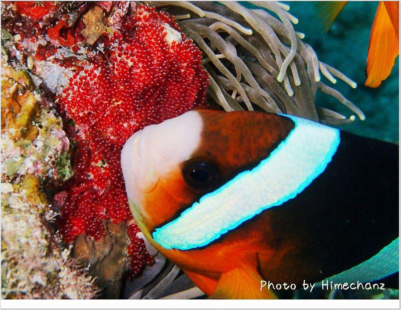 こちらは産みたて。(クマノミ卵) photo by OLYMPUS STYLUS TG-2 Tough