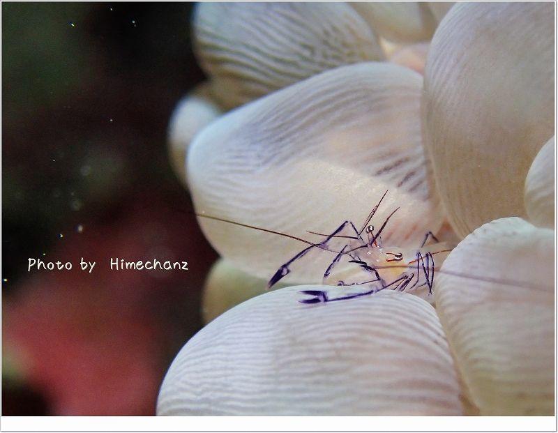 バブルコーラルシュリンプ photo by OLYMPUS STYLUS TG-2 Tough