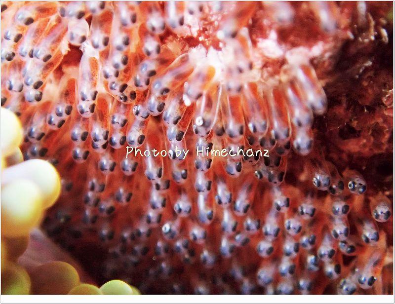 正宗君が育てているタマゴたち。 photo by OLYMPUS STYLUS TG-2 Tough