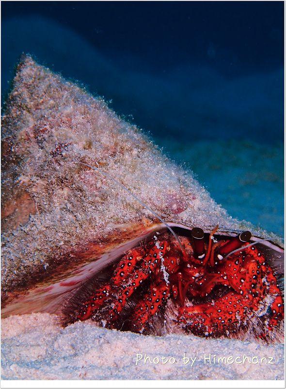 タカセ貝を背負ったヤドカリ君 photo by OLYMPUS STYLUS TG-2 Tough