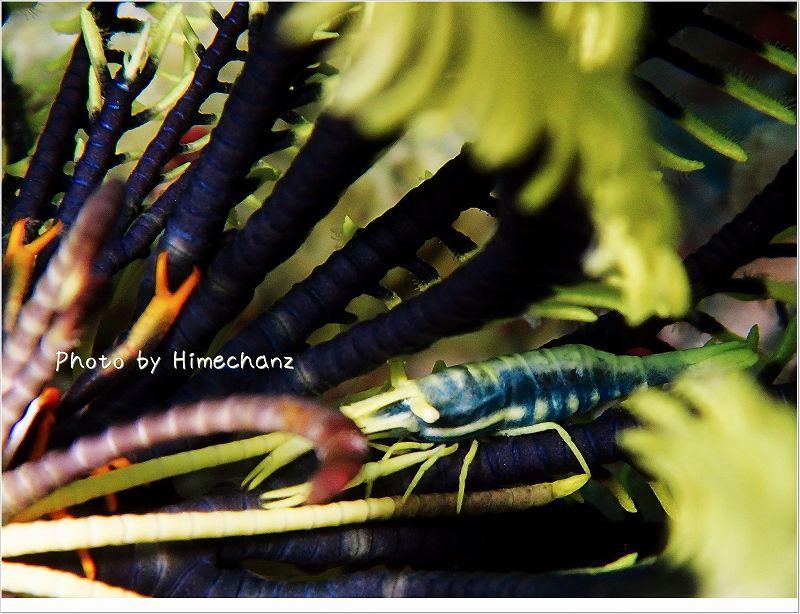 バサラカクレエビ photo by OLYMPUS STYLUS TG-2 Tough