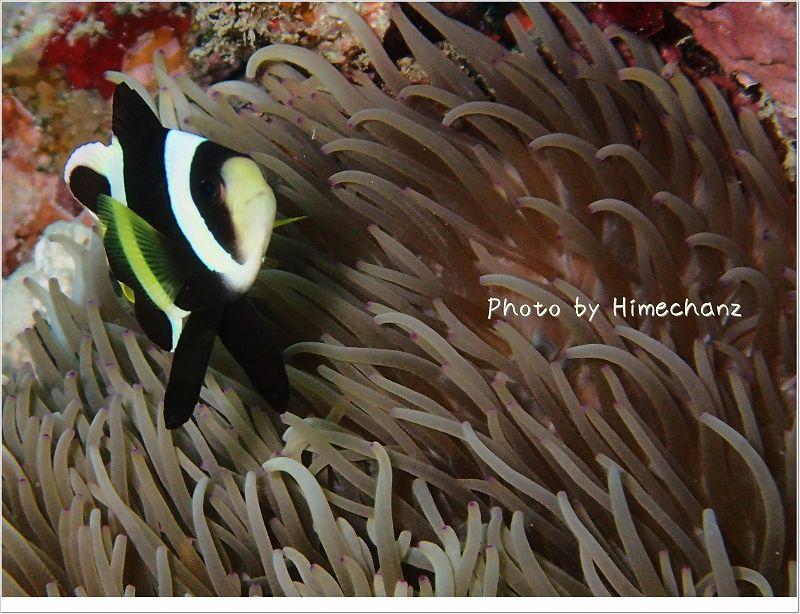 クマノミ幼魚 photo by OLYMPUS STYLUS TG-2 Tough