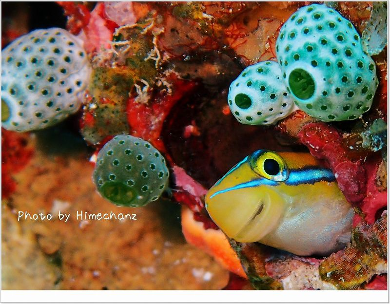斜め45度の上目づかい。ミナミギンポ photo by OLYMPUS STYLUS TG-2 Tough