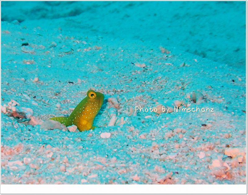 巣穴の近くでモジモジ。。ギンガハゼ photo by OLYMPUS STYLUS TG-2 Tough