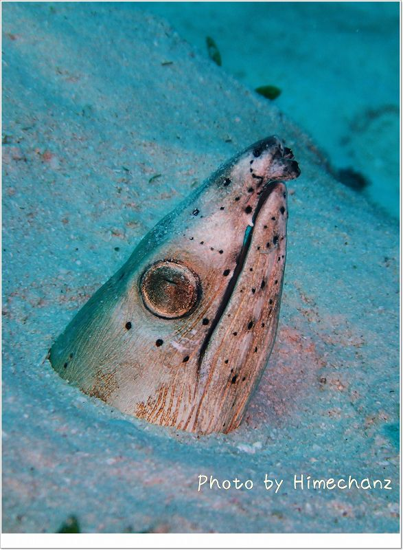 大人サイズのホタテウミヘビ photo by OLYMPUS STYLUS TG-2 Tough