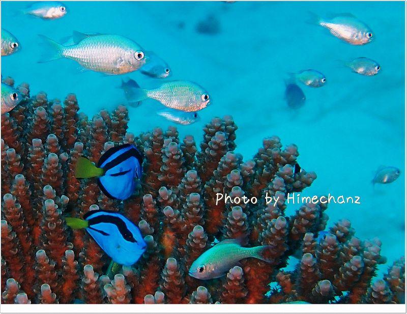 最近いろんなところで見かけます。ドリーことナンヨウハギ photo by OLYMPUS STYLUS TG-2 Tough