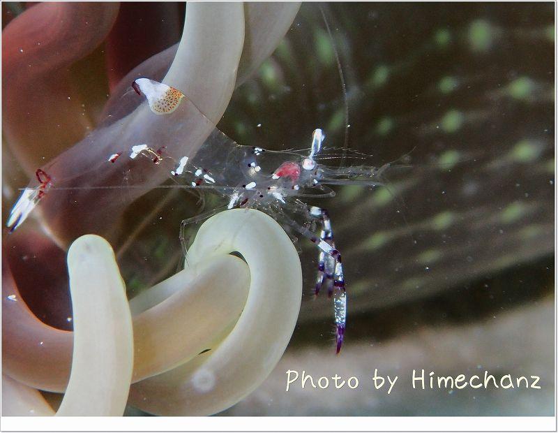 こちらはアカホシカクレエビ photo by OLYMPUS STYLUS TG-2 Tough
