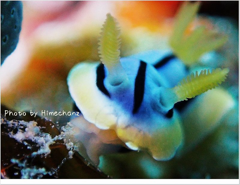 極小サイズのコールマンウミウシを超スーパーマクロモードで。 photo by OLYMPUS STYLUS TG-2 Tough
