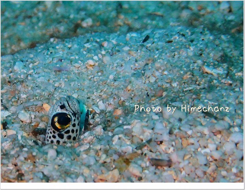 かなり近くまで寄らせてくれました。チンアナゴ photo by OLYMPUS STYLUS TG-2 Tough
