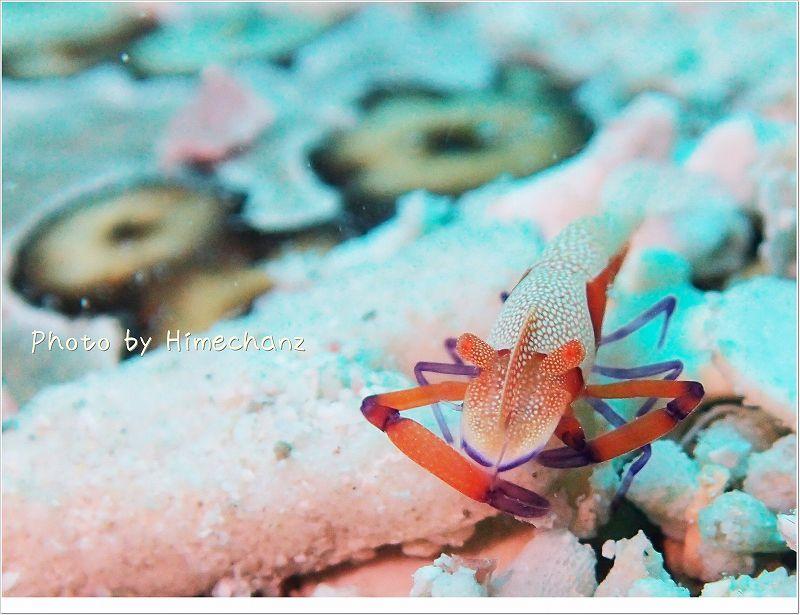 色合いが美しい。ウミウシカクレエビ photo by OLYMPUS STYLUS TG-2 Tough