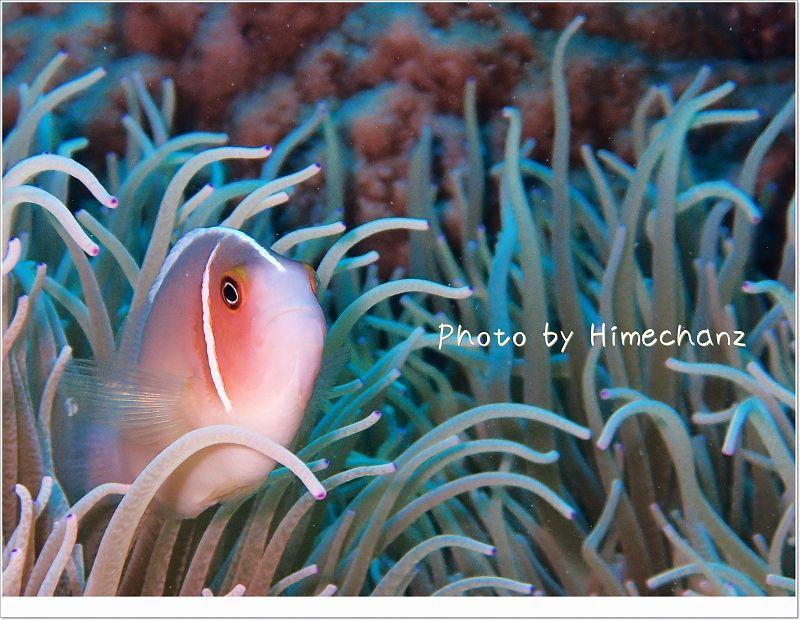 ハナビラクマノミ photo by OLYMPUS STYLUS TG-2 Tough