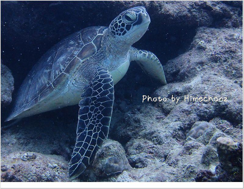 アオウミガメ!眠そう・・・。 photo by OLYMPUS STYLUS TG-2 Tough