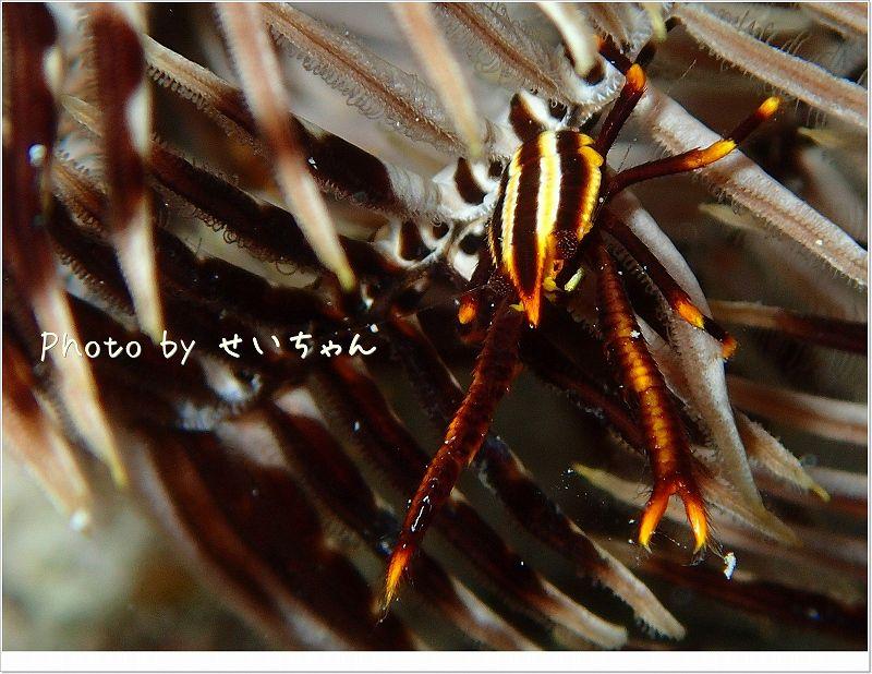 黄色いコマチコシオリエビ photo by OLYMPUS STYLUS TG-2 Tough