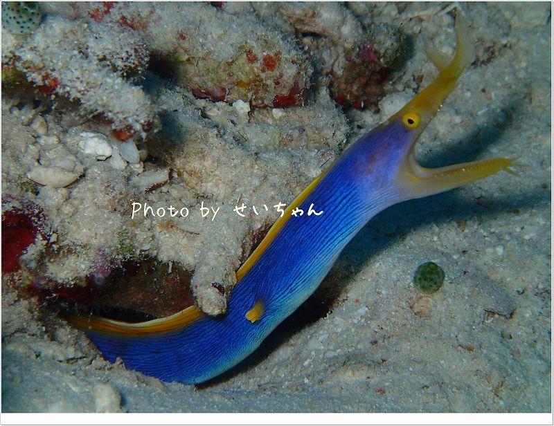 ハナヒゲウツボ成魚! photo by OLYMPUS STYLUS TG-2 Tough