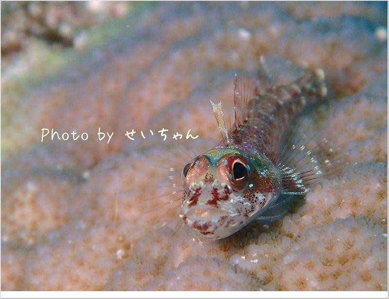 カスリヘビギンポ photo by OLYMPUS STYLUS TG-2 Tough