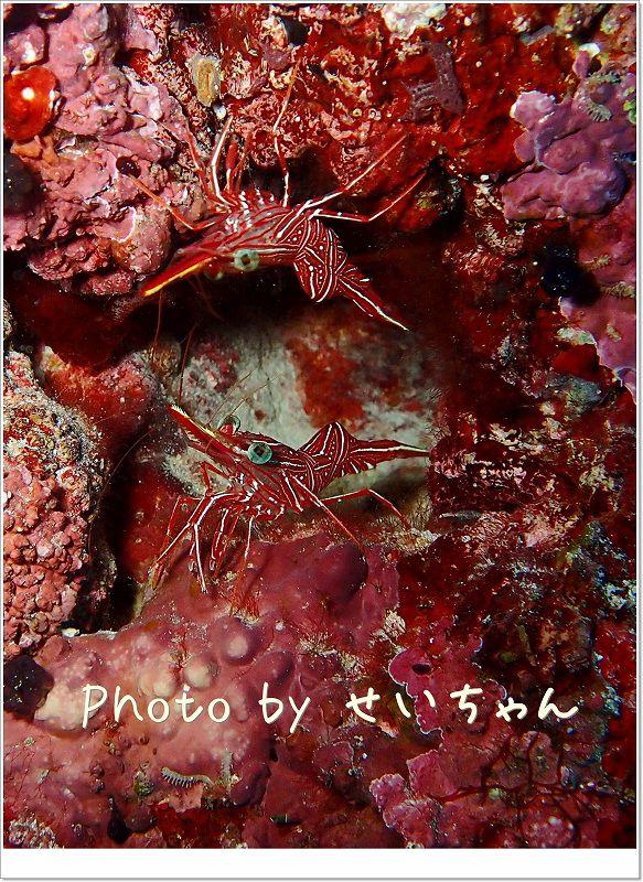 鏡のような配置。スザクサラサエビ photo by OLYMPUS STYLUS TG-2 Tough