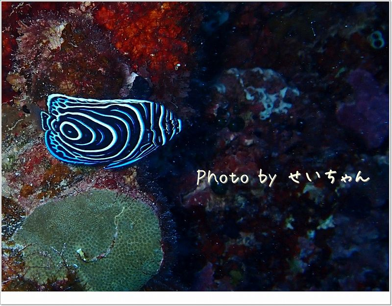 タテジマキンチャクダイ幼魚 photo by OLYMPUS STYLUS TG-2 Tough