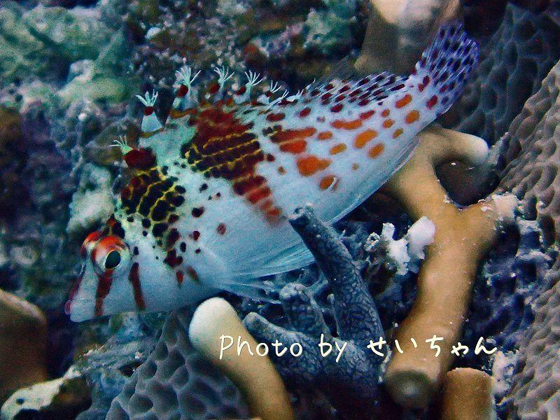 サラサゴンベ photo by OLYMPUS STYLUS TG-2 Tough