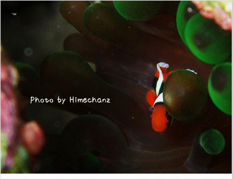 極小サイズのハマクマノミ photo by OLYMPUS STYLUS TG-2 Tough