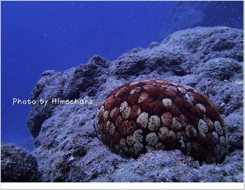 ヒトデの宿主だったマンジュウヒトデ photo by OLYMPUS STYLUS TG-2 Tough