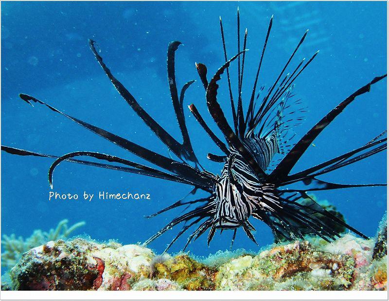 ハナミノカサゴ幼魚 photo by OLYMPUS STYLUS TG-2 Tough