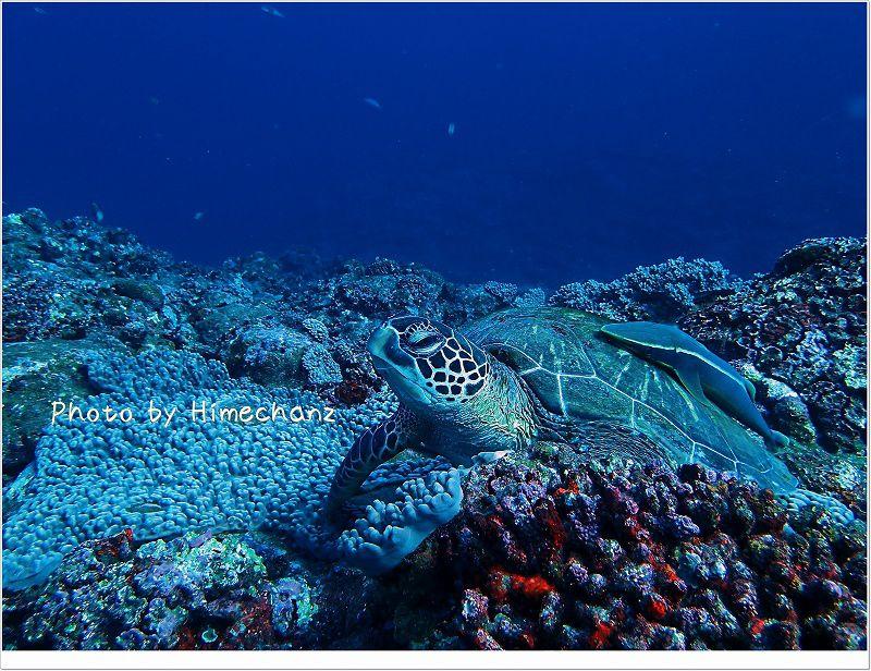 背中とおなかに1匹ずつコバンザメ。 アオウミガメ photo by OLYMPUS STYLUS TG-2 Tough