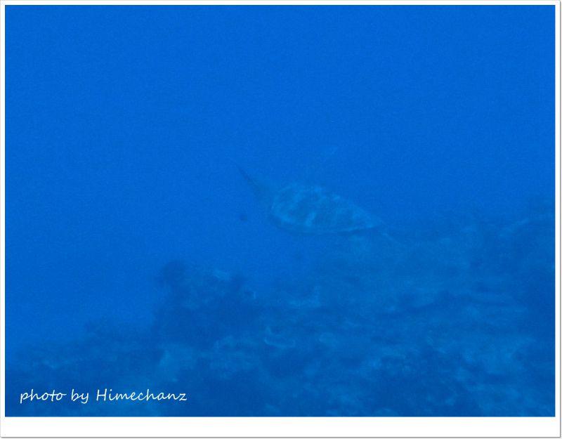 エントリーしてすぐにタイマイがふら~っと遊泳してました♪ photo by OLYMPUS STYLUS TG-2 Tough