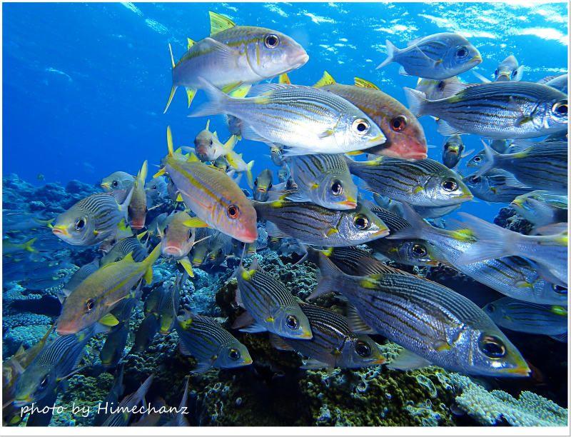 アカヒメジとノコギリダイの群れ photo by OLYMPUS STYLUS TG-2 Tough