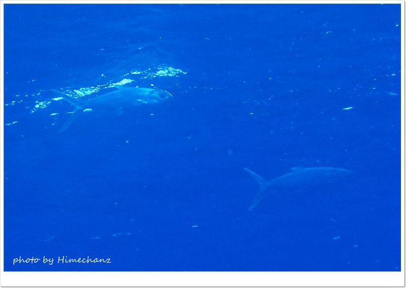 残念ながらマンタは見れずでしたが、サバヒーが群れてました! photo by OLYMPUS STYLUS TG-2 Tough