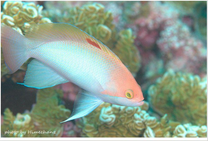 ケラマハナダイのオス photo by Nikon D300