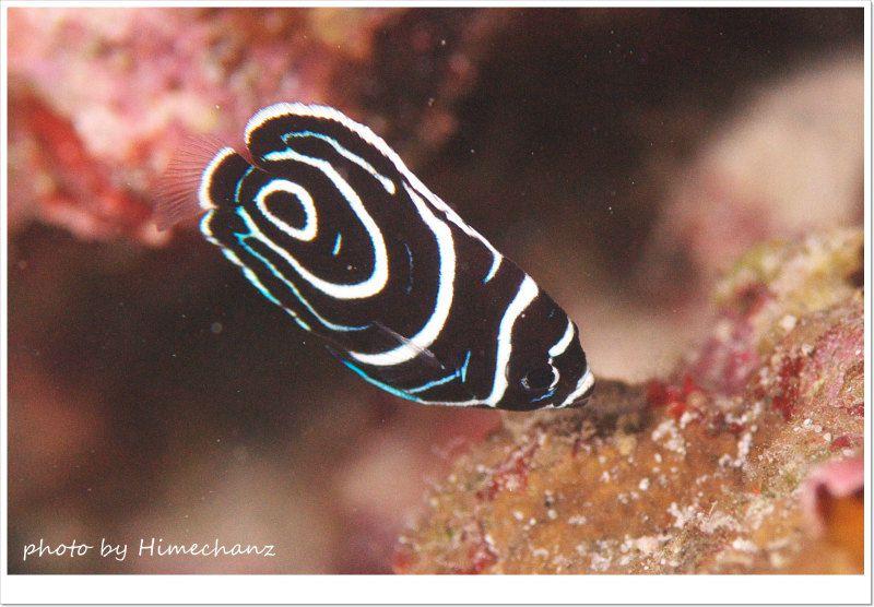 タテジマキンチャクダイの幼魚 photo by Nikon D300