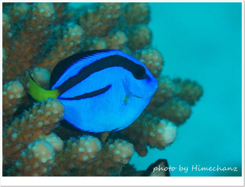今年は本当に多い!ナンヨウハギ幼魚 photo by Nikon D300