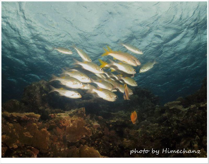かなり散っちゃったアカヒメジとノコギリダイの群れ photo by CANON PowerShot S100