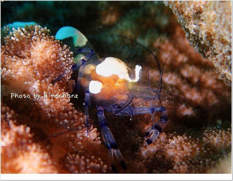 イソギンチャクエビ photo by OLYMPUS STYLUS TG-2 Tough
