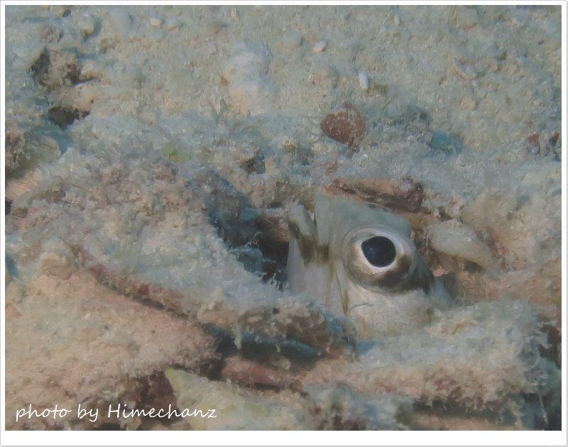 パラオのリングアイジョーフィッシュは全然怖がらないw photo by CANON PowerShot S100