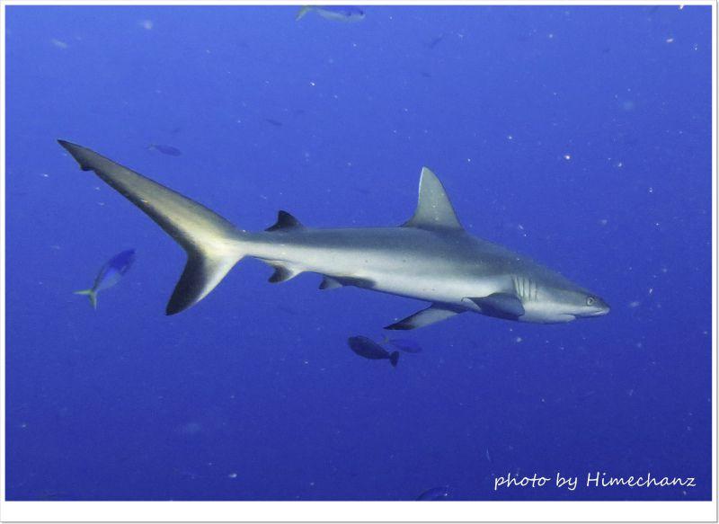 和名オグロメジロザメ。いつ見てもカッコイイ! photo by CANON PowerShot S100