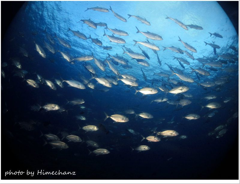 朝一のギンガメアジの群れ photo by CANON PowerShot S100