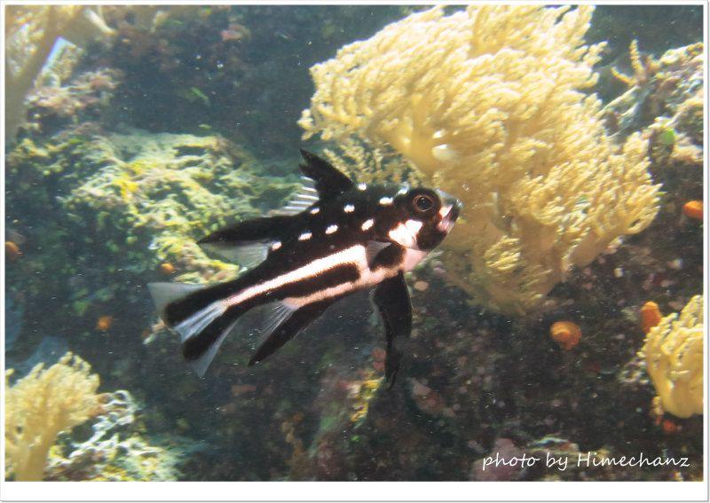 ホホスジタルミの幼魚 photo by CANON PowerShot S100